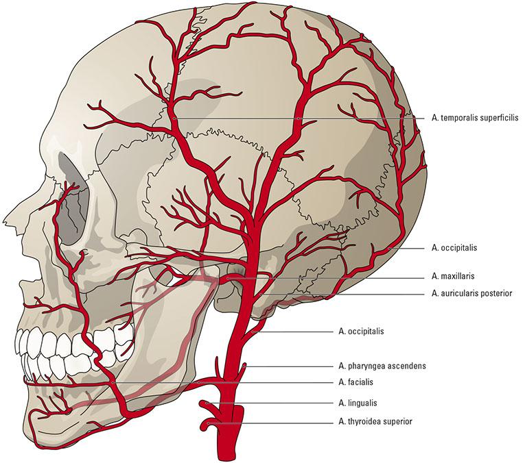 Arteria facialis || Med-koM